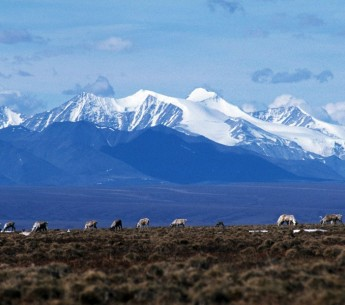 Caribou graze on the Coastal Plain of the Arctic National Wildlife Refuge