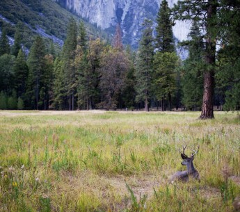 A deer in a meadow at Yosemite National Forest.