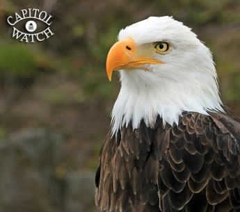 The bald eagle is just one of the species that the Endangered Species Act has saved from extinction.