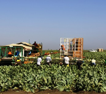 Farmworkers picking cauliflower in Salinas, California in June 2014.