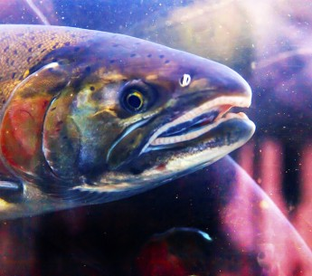 A judge has ordered the FDA to release withheld information related to its approval of GE salmon.