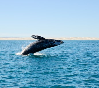 A breaching gray whale off the coast of Baja California Sur, Mexico.