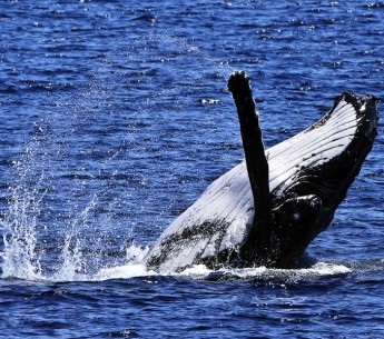 The humpback whale is one species that migrates along the California coast.