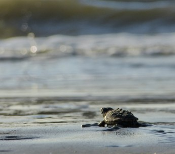 A baby loggerhead heads for the waves on Georgia's Blackbeard Island.