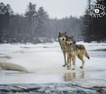 Legislation introduced in the House and Senate would strip protections from wolves in four states—and take away citizens' ability to challenge that decision.