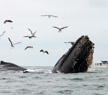 A humpback whale surfacing in Monterey Bay.