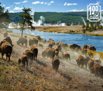 Protecting national parks for human visitors also means keeping them safe for the many awe-inspiring creatures that live there like the bison of Yellowstone National Park.