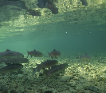 Native American communities in Northern California are rallying together to protect salmon species that are dangerously depleting.