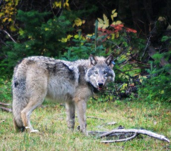 OR-10, a gray wolf.