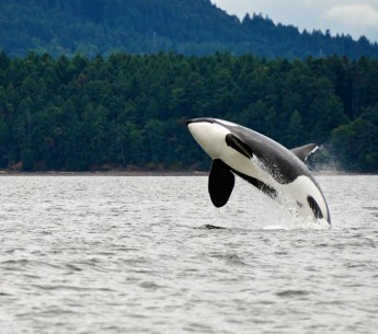 Recently, the federal government added a captive orca called Lolita to the endangered species list