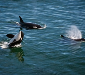 The removal of dams on the Snake River could save the Pacific Northwest's dwindling orca population.
