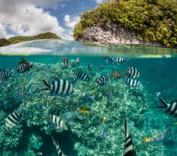 Damselfish swim in Palau's inner lagoon.
