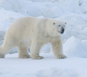 A polar bear on the Arctic's Chukchi Sea coast.