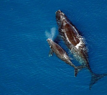 A North Atlantic right whale swims with its calf.