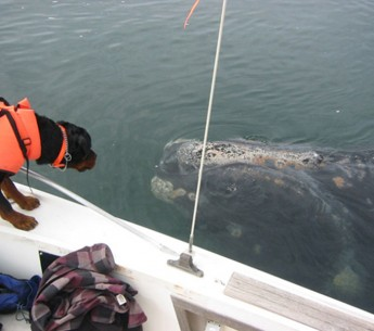 Fargo, a rottweiler trained in scent detection, helps to locate right whale scat samples that will be analyzed for hormones, biotoxins and diseases.
