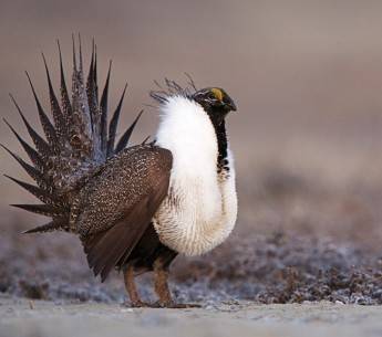 The sage grouse is among the species threatened by the Interior Appropriations Bills in Congress.