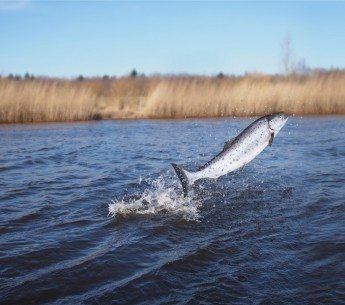 Raising existing dams and plans to build more could imperil California's salmon population.