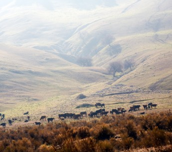 Smog hangs over the hills where cattle graze in the San Joaquin Valley, Calif.