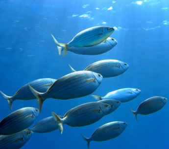 A variety of seabream fish swimming in the Mediterranean.