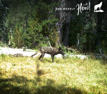 CA Fish & Wildlife trail cameras have recorded five wolf pups and individual adults in Siskiyou County in Northern California. These are the first pups documented in the state since wolves were driven out in the 1920s.