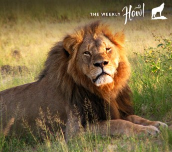 Cecil the lion at photographed at Hwange National Park.