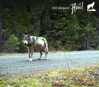 """Remote camera photo of OR7 captured on 5/3/2014 in eastern Jackson County on USFS land (USFWS)."""""""