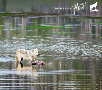 A wolf standing in a river next its prey in Yellowstone National Park.
