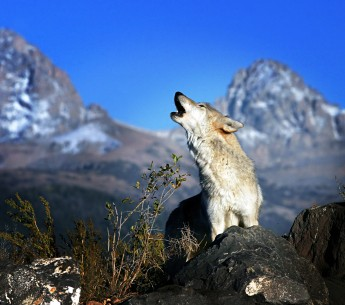 Gray wolf howling in the Grand Tetons in Wyoming.