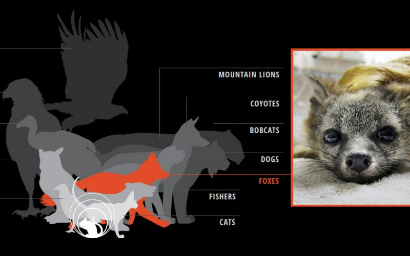 Rodenticides such as d-CON enter the food chain when rodents die from poisoning and are eaten by domestic animals and wildlife—who often die as a result. Creatures commonly affected are shown, including a gray fox suffering from rodenticide poisoning.