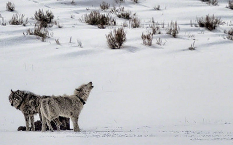 Wolves of Lamar Valley