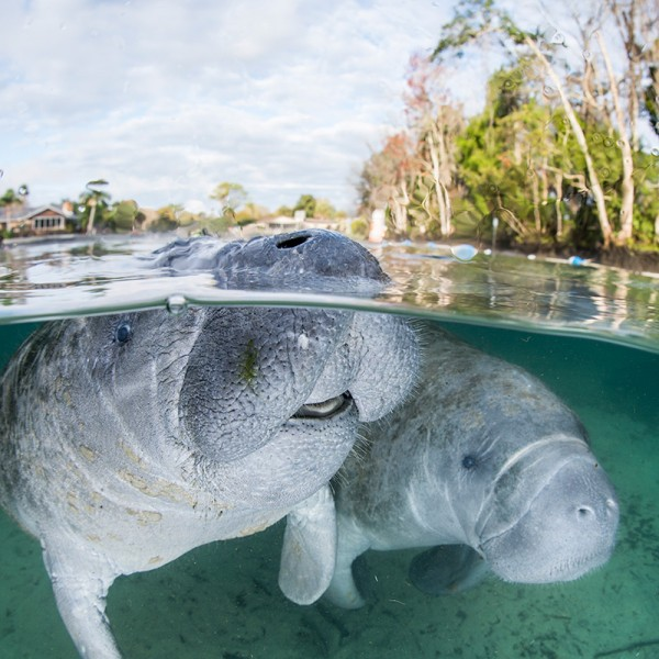 Florida manatees (Trichechus manatus latirostris) at Crystal River, Florida/
