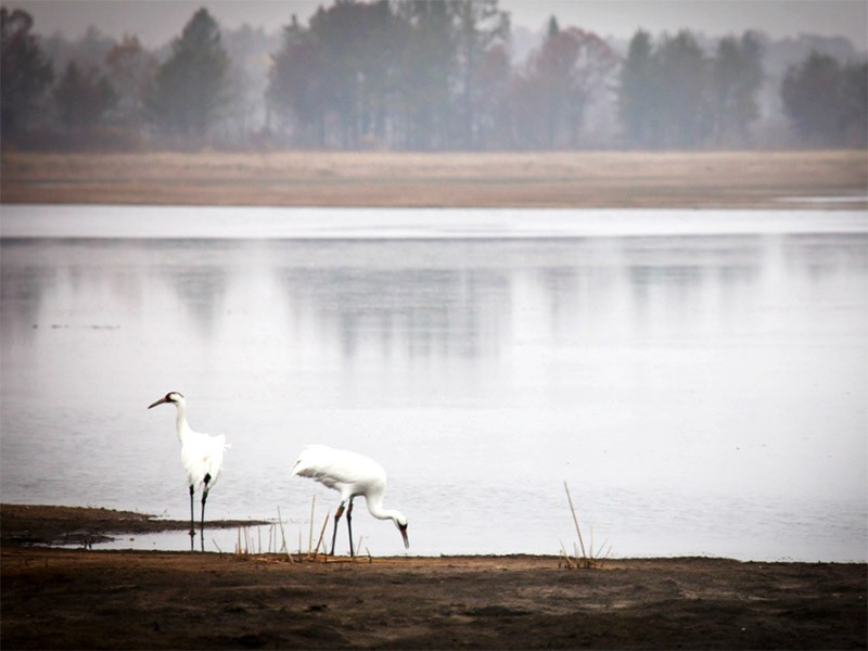 The whooping crane is one of the most endangered animals on earth.