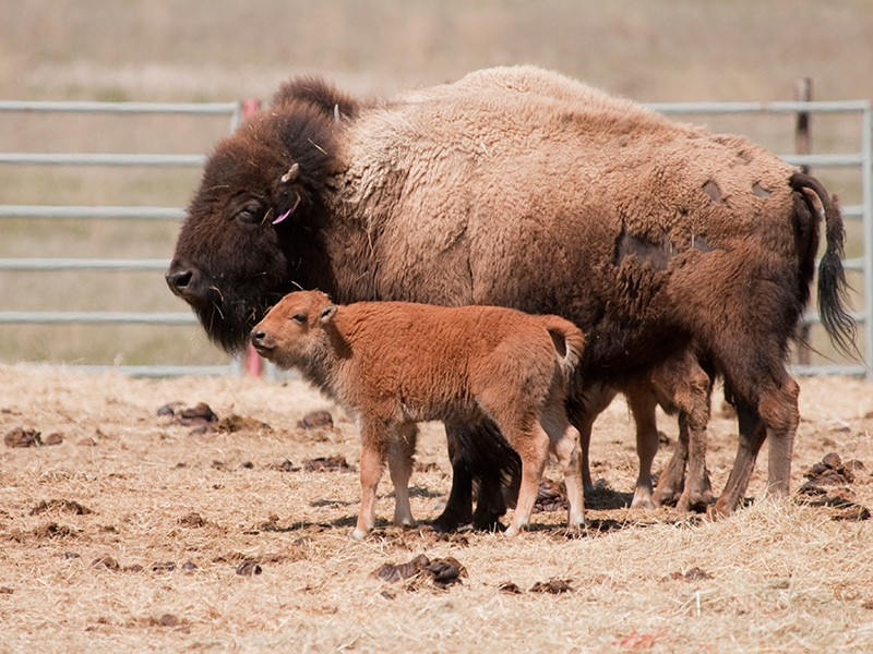 One of the newborn bison calves, born at Montana's Fort Peck in the spring of 2012.