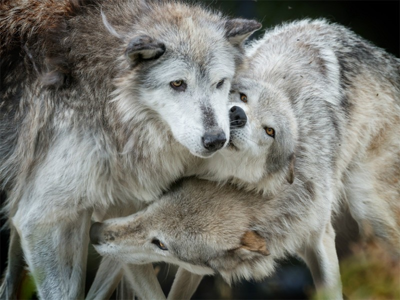 Congress Unleashes War On Wolves Earthjustice