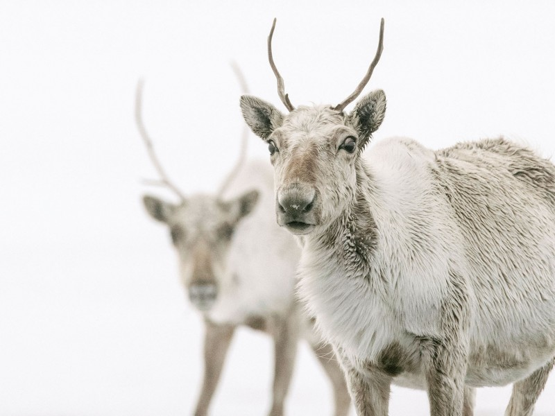 Caribou in the Western Arctic