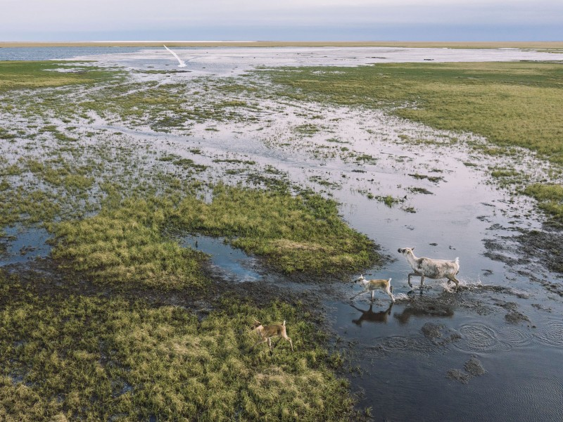 Caribou and migratory birds in the Western Arctic around the Teshekpuk Lake area.