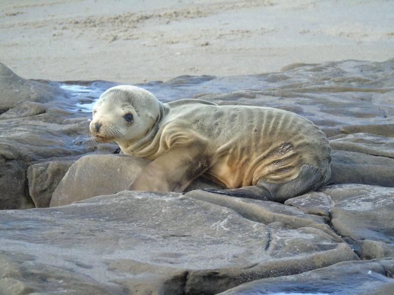 Thousands of starving sea lions washed up on California shores due to overfishing of anchovies and other forage fish.