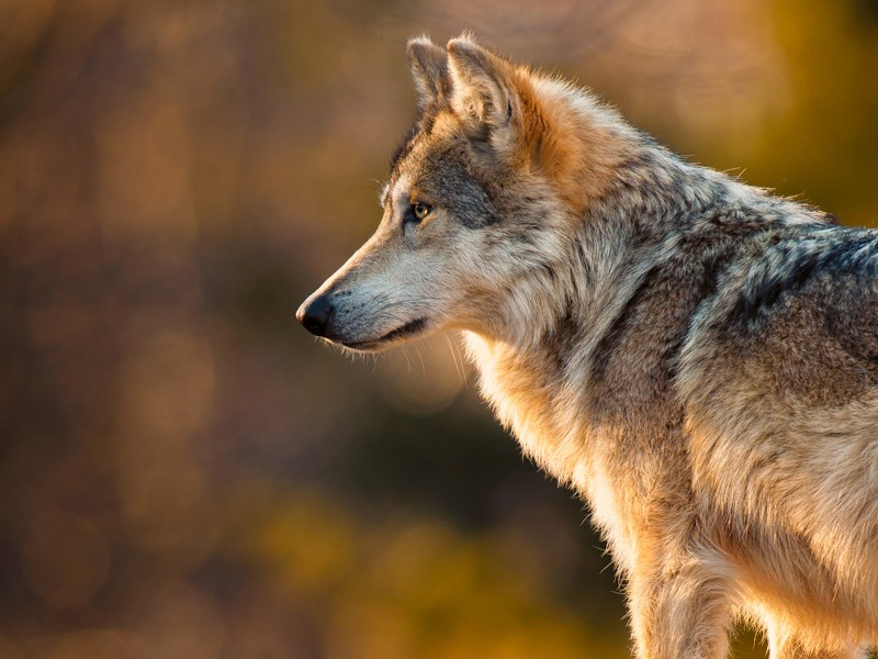 Mexican grey wolf - photo#19
