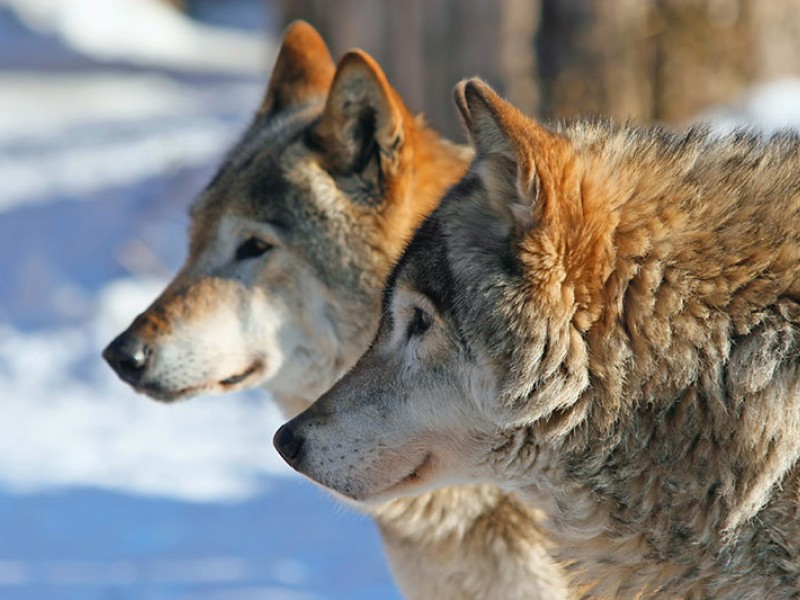 Two wolves in the forest
