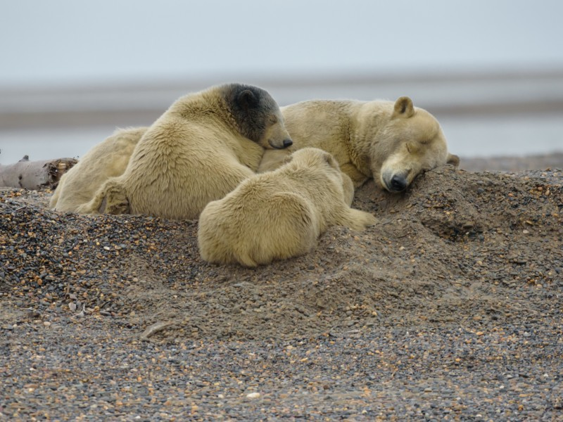 Oil drilling in the Arctic National Wildlife Refuge threatens the habitats of a wide range of wildlife, including polar bears, Arctic foxes and wolverines.