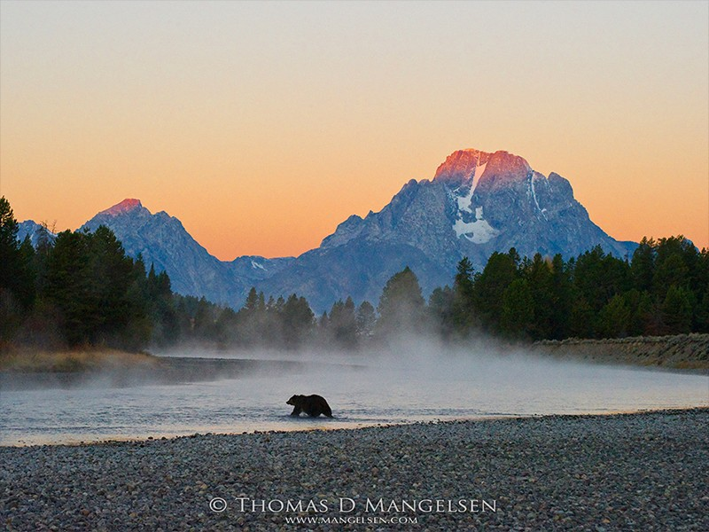 First light strikes the summit of Mount Moran, painting the sky orange as a female grizzly wades a shallow bend in the Snake River in Grand Teton National Park, Wyoming.