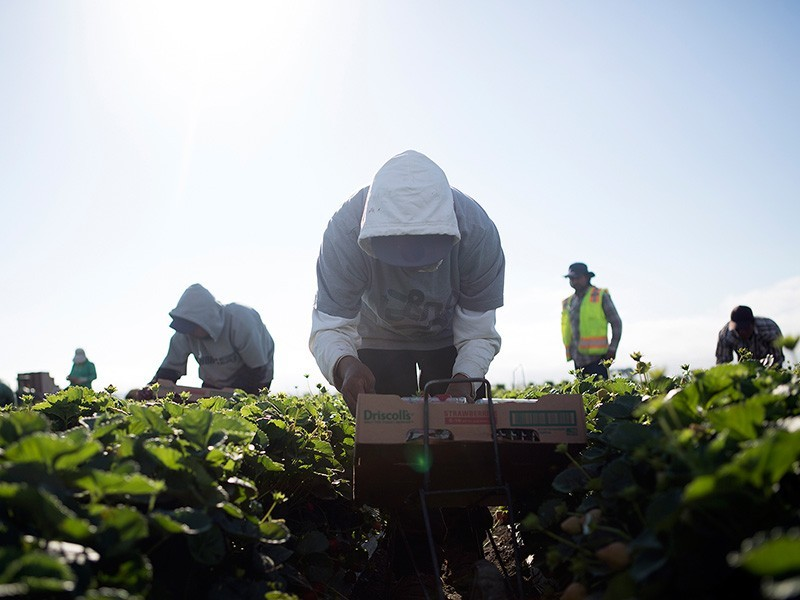 Agricultural workers harvest crops on a California farm.