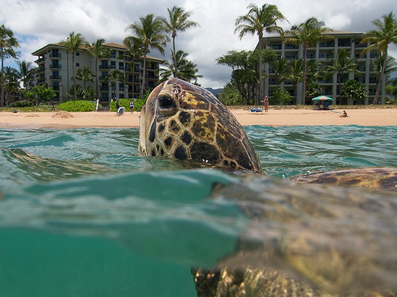 A turtle surfaces offshore of Kahekili Beach Park, Maui, Hawaii.