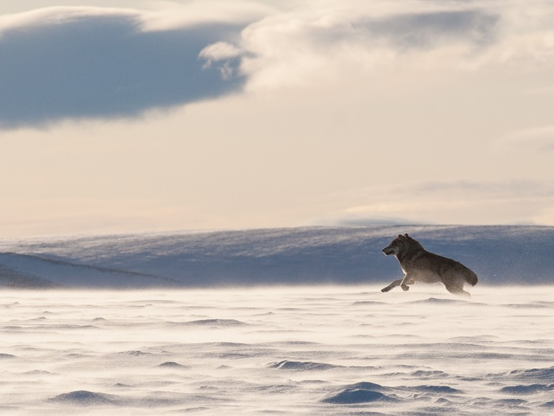 A wolf in the Arctic Refuge.