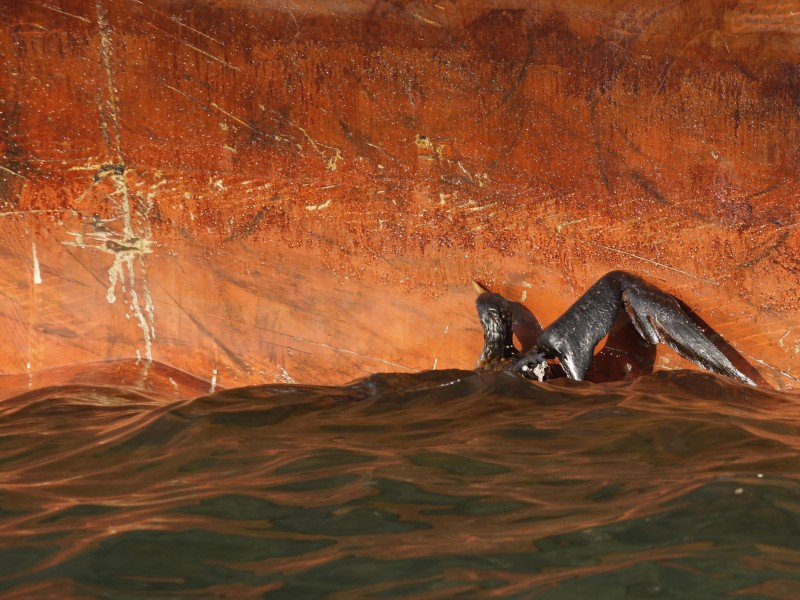 An oil soaked bird struggles against the oil slicked side of the HOS Iron Horse supply vessel at the site of the Deepwater Horizon oil spill in the Gulf of Mexico off the coast of Louisiana Sunday, May 9, 2010. (AP Photo/Gerald Herbert)