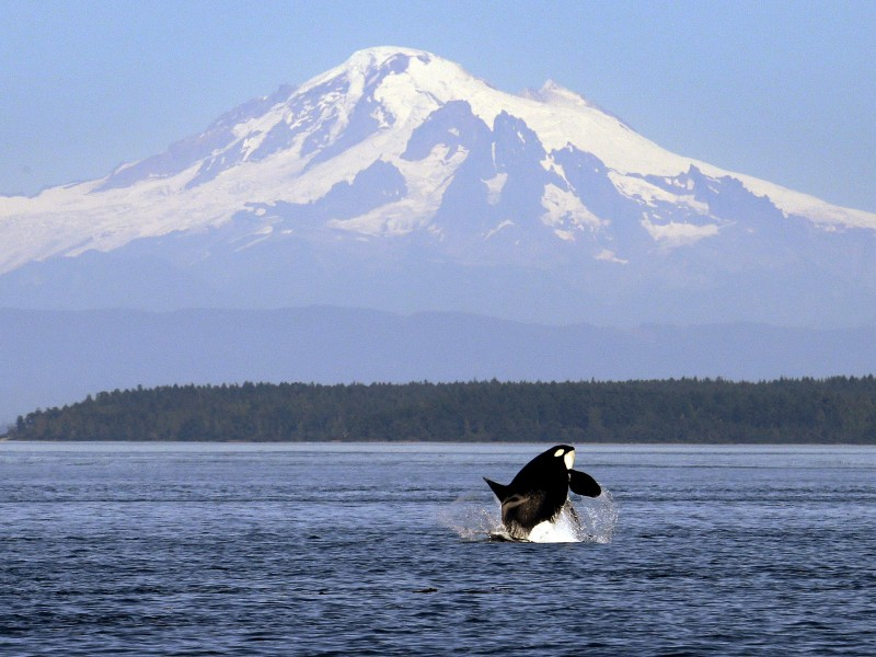 An orca breaches off the coast of Washington. The southern resident orca population in Washington's Salish Sea has hit a 34-year low as Chinook salmon, the whales' primary food source, have grown scarcer.