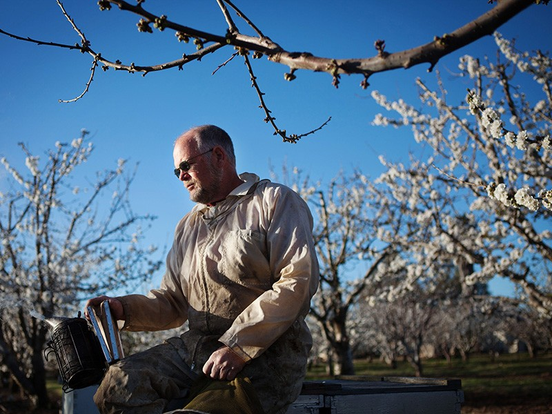 Beekeeper Jeff Anderson minds his colonies in a California cherry orchard.