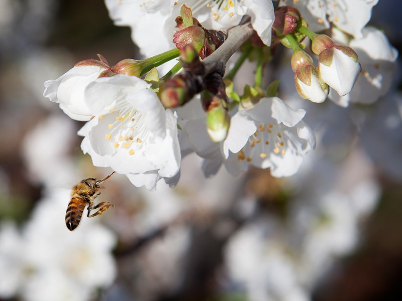 A honey bee alights on a cherry blossom in Oakdale, CA.