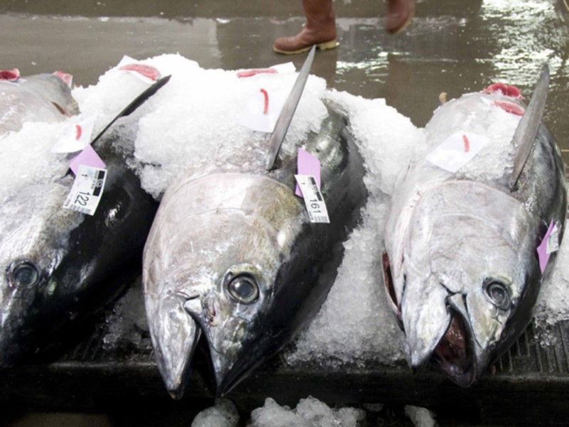 Bigeye tuna (Thunnus obesus) on ice.