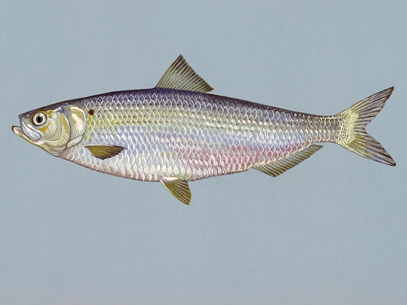 Blueback herring.